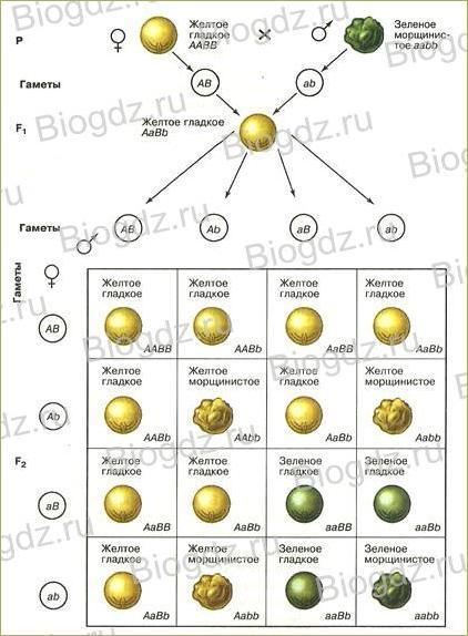Урок 53. Дигибридное и полигибридное скрещивание. Третий закон Г. Менделя – закон независимого наследования - 2