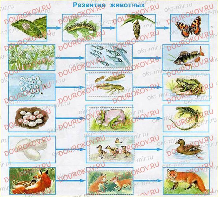 Размножение и развитие животных - 26