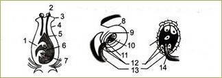 §23. Половое размножение покрытосеменных растений - 1