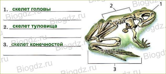 Тема 11. Скелет — опора организма - 3