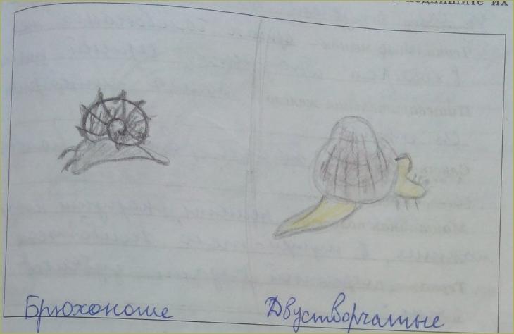 12. Классы моллюсков - 4