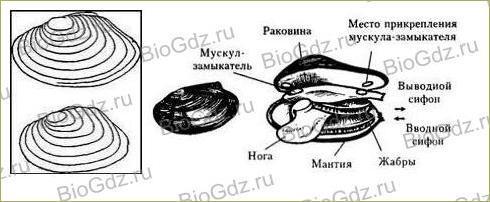 26. Тип Моллюски - 3