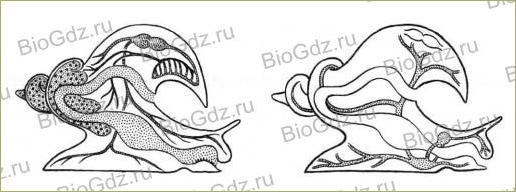 26. Тип Моллюски - 4