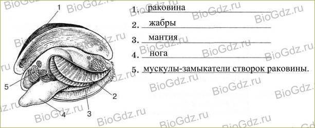 26. Тип Моллюски - 5