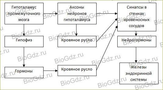 14. Эндокринная система - 1